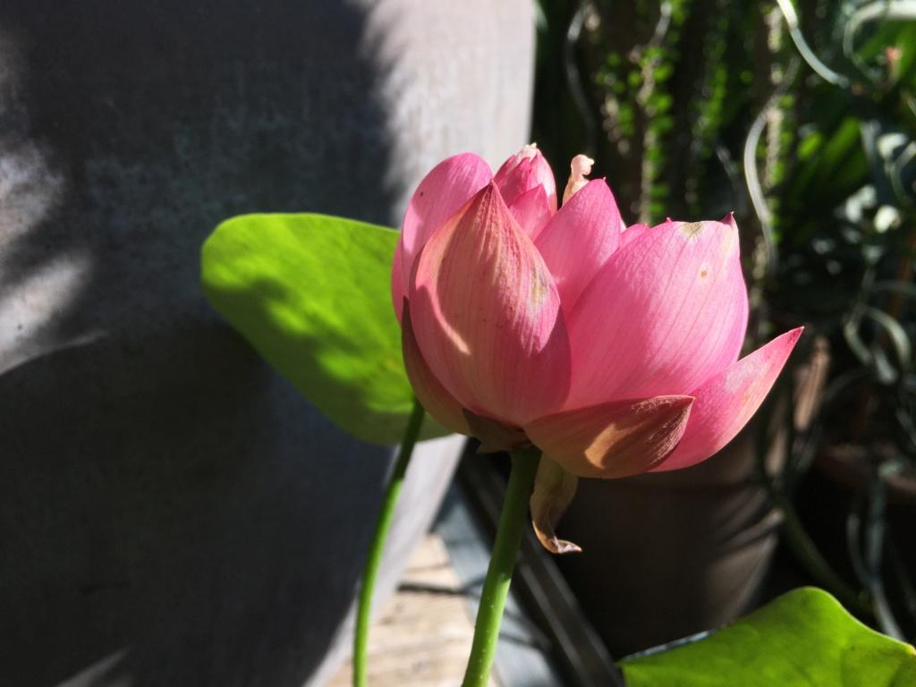 Nelumbo nucifera et horticoles - lotus sacré - Page 4 Img_9211
