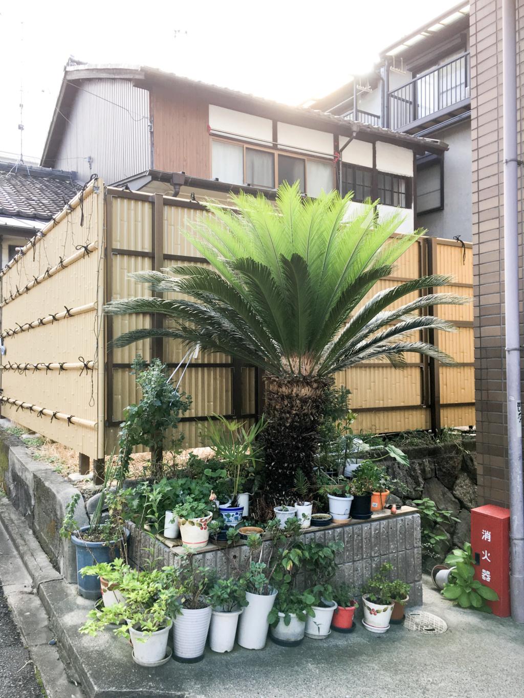 Cycas revoluta - Page 4 Japon-13