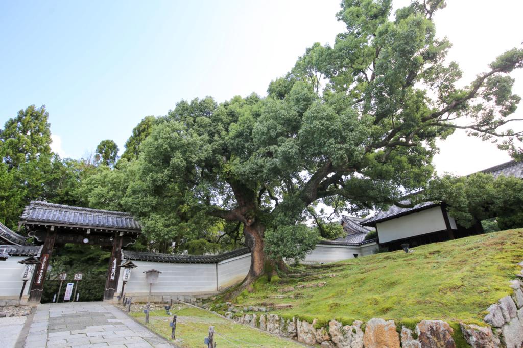 Cinnamomum camphora - camphrier - Page 5 Japon-16