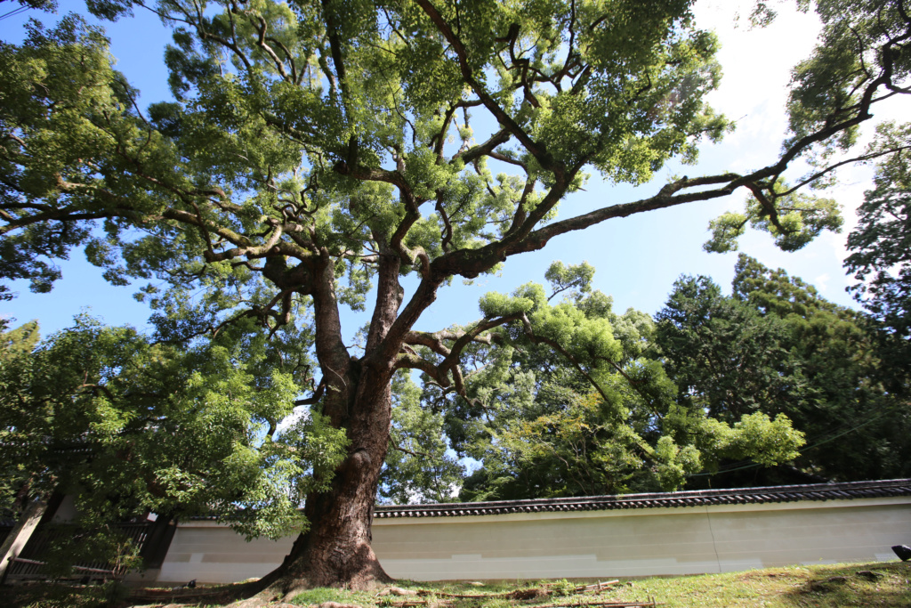 Cinnamomum camphora - camphrier - Page 5 Japon-17
