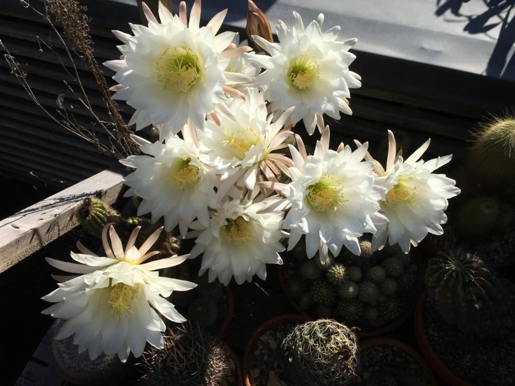 Cactus - floraisons 2020 Tricho10
