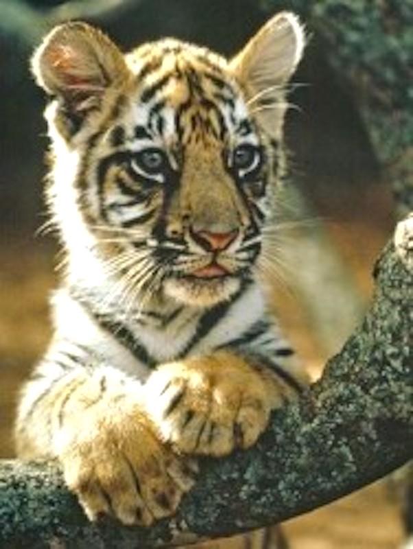 Journée nationale & mondiale... - Page 4 Tigre10