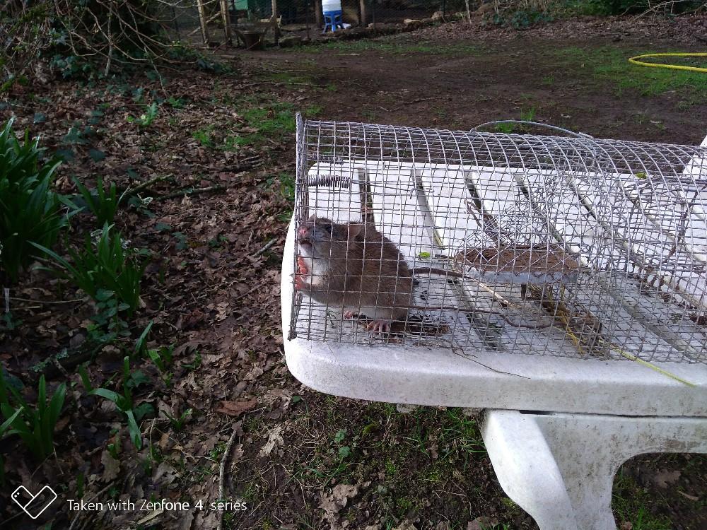 Gestion des Rats dans Poulailler Rat10