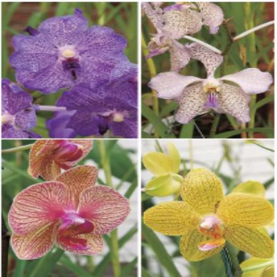 Cultivando suas orquídeas Scree129