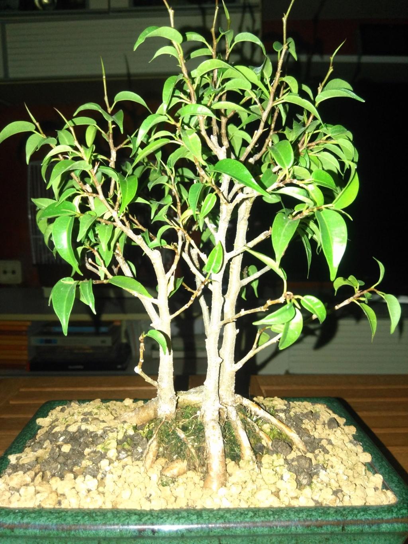Ficus benjamina 15358310