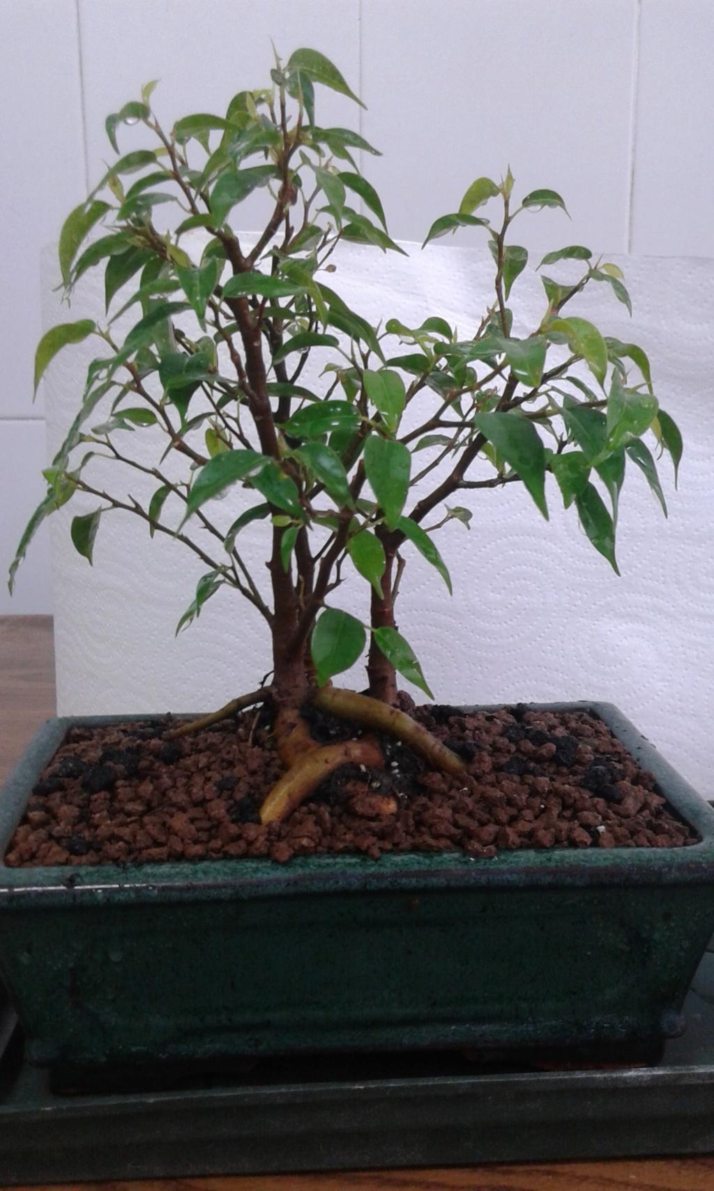 Ficus benjamina 20180310