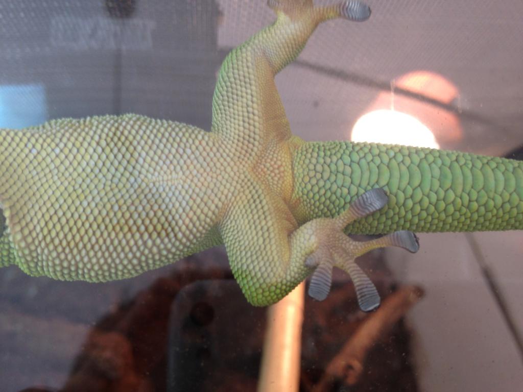 Phelsuma mâle ou femelle  Img_0410