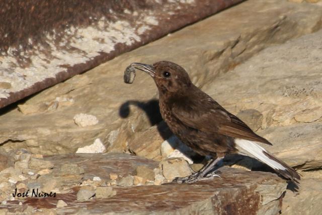 Fórum Aves - Birdwatching em Portugal - Portal 0a6a5810