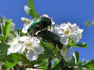 Pipa entomologica Czotoi10