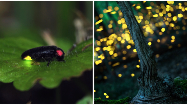 Pipa entomologica Luciol10