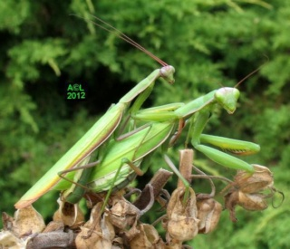 Pipa entomologica - Page 2 Mante10