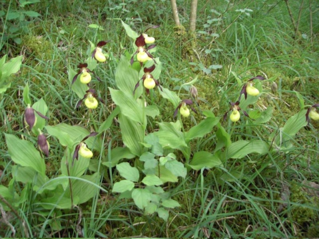 Orchidées indigènes ! Sabot_10