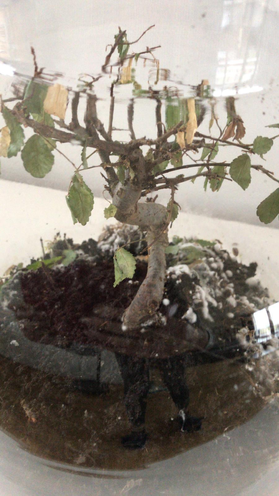 Bonsai enfermo sin hojas ayuda 210