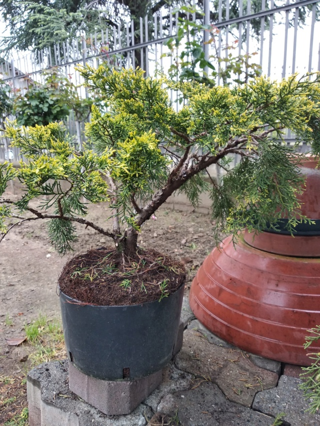 qualche idea per questo juniperus Img_2014