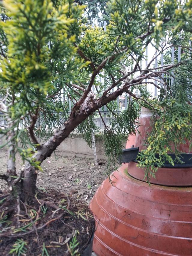 qualche idea per questo juniperus Img_2015