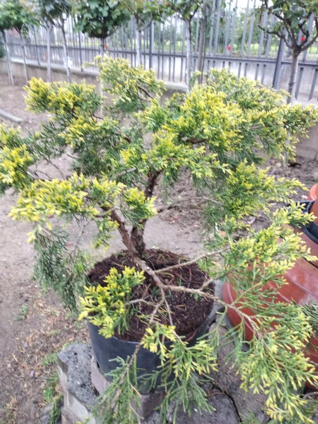 qualche idea per questo juniperus Img_2018