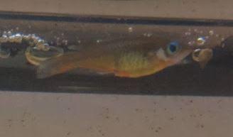 Oryzias - décoloration 210