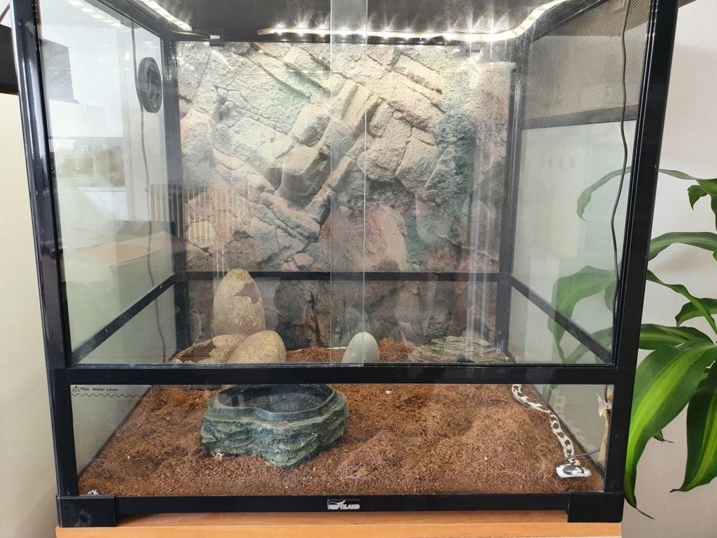 Proie serpent des blés  20200411