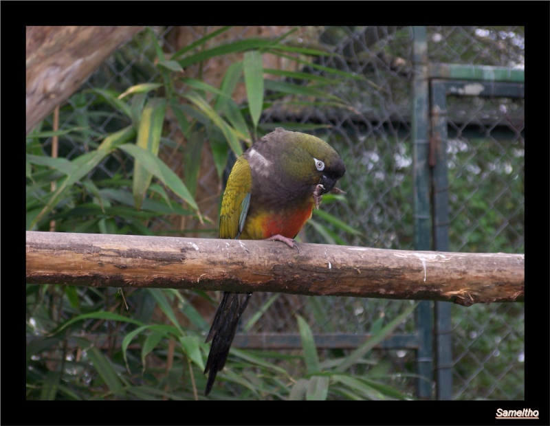 La perruche de Patagonie (Cyanoliseus patagonus) 08410