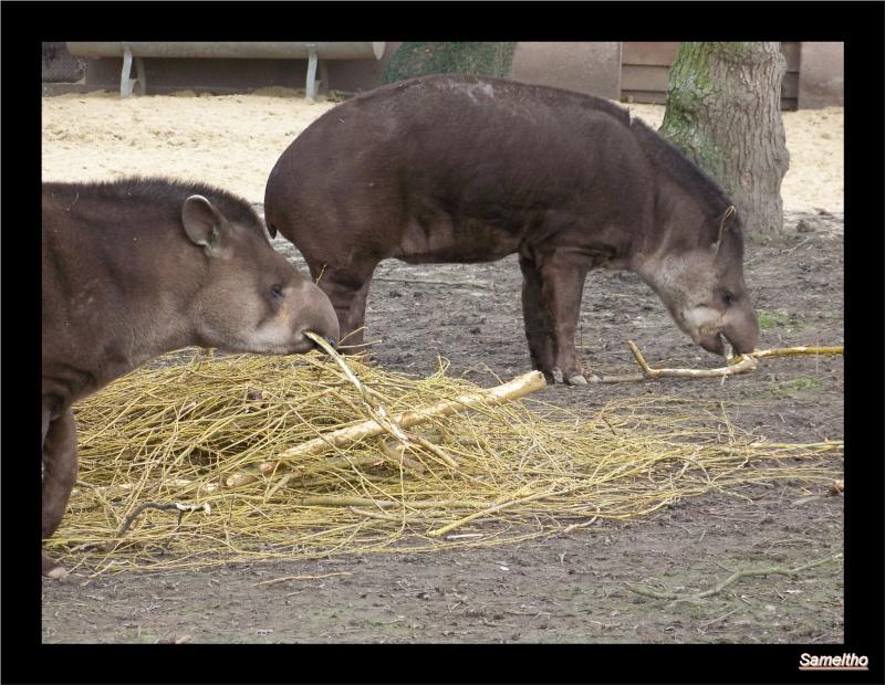 Le tapir terrestre (Tapirus terrestris) 09710