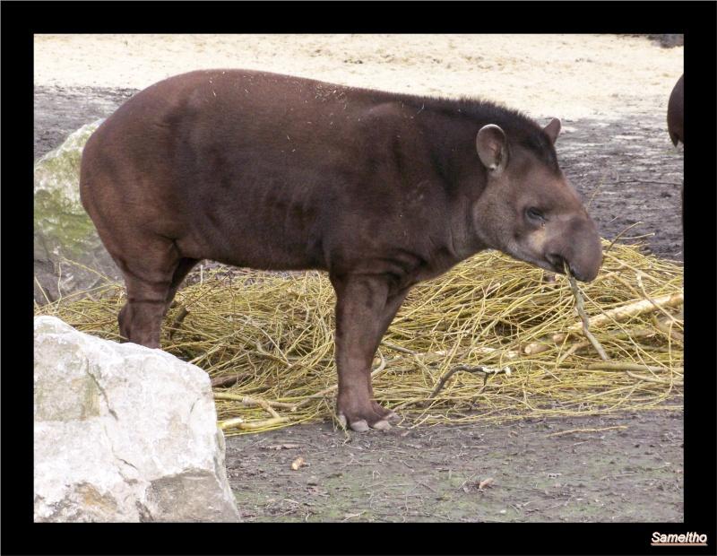 Le tapir terrestre (Tapirus terrestris) 10010