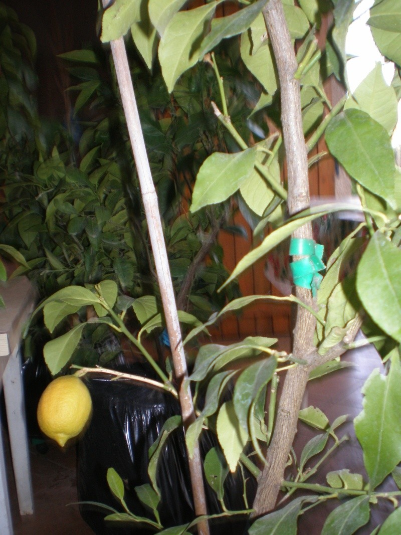 mon citronier P1260014