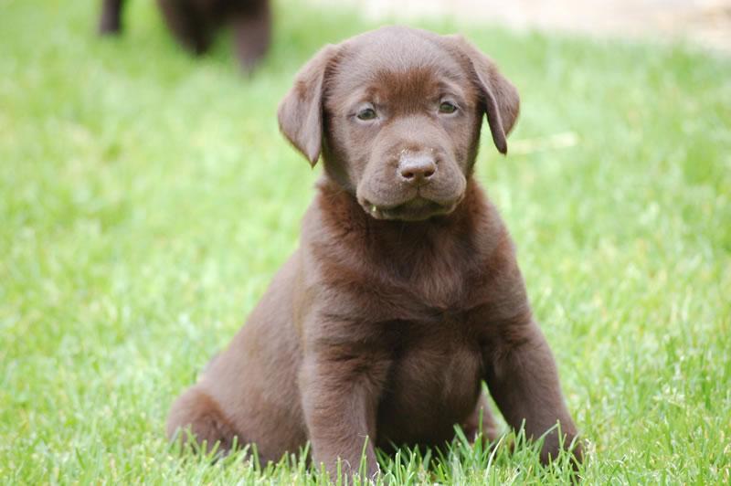 Un nom de chien pour une marque d'Omega ... Labrad10