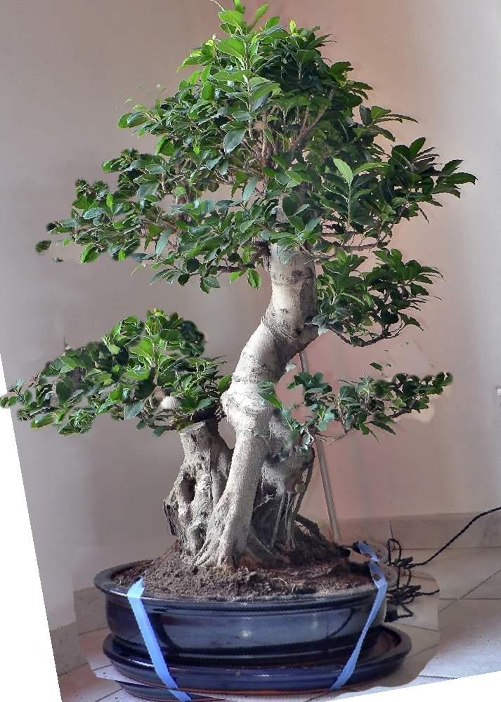 Ficus Retusa pour moi aussi Ficus110