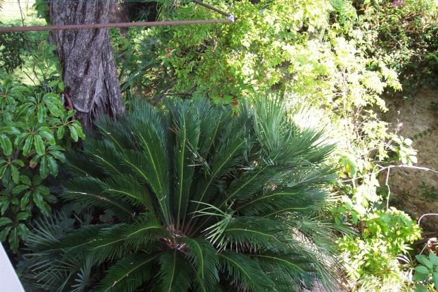 Cycas revoluta (Sagoutier) Cycas_10