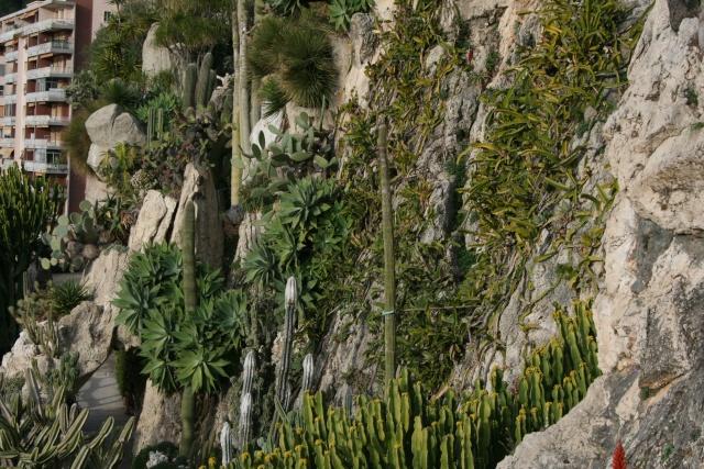 Cactus rustiques en pleine terre Falais11