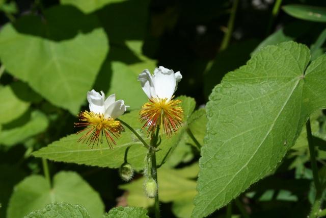 Sparmannia Africana Sparma10