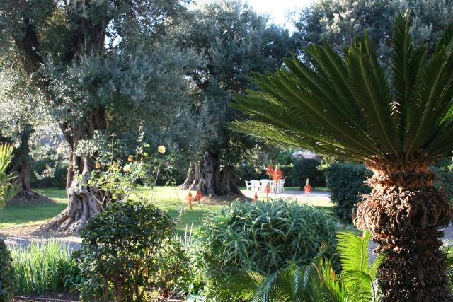 Cycas revoluta (Sagoutier) Voisin10
