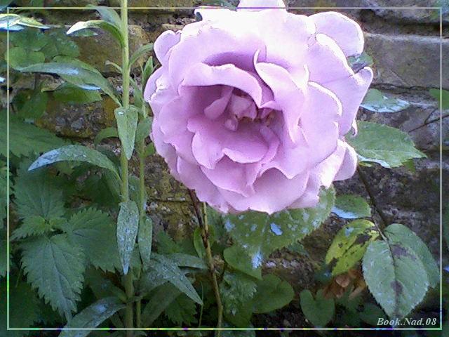 Les roses. - Page 3 Maison10