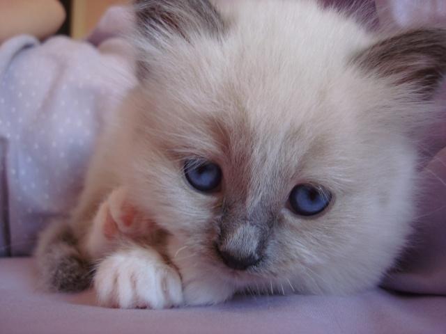 Le chaton unique de Geisha et Gulli est né ! - Page 2 Dsc04612