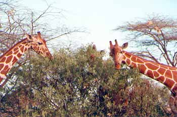 Marshal Rosenberg : « Tout conflit peut se transformer en un dialogue paisible » Girafe13