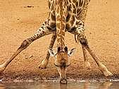 Marshal Rosenberg : « Tout conflit peut se transformer en un dialogue paisible » Girafe14