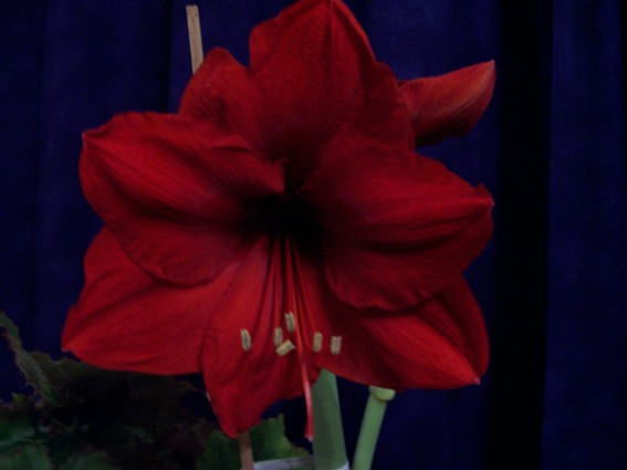 Fleurs ... tout simplement - Page 2 Amaryl10