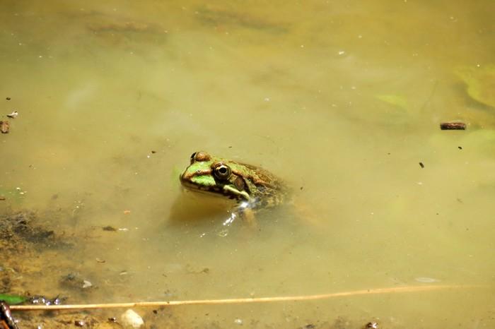 grenouilles  Img_6110