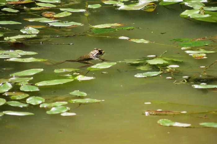 grenouilles  Img_6111