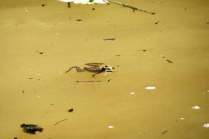 grenouilles  Img_6112