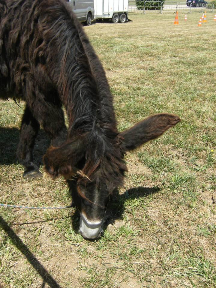 Foire de l'âne et de la mule 10163810