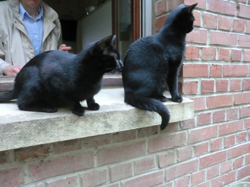 Khéops et Khephren 2 grands chatons noirs7 mois Khepre10