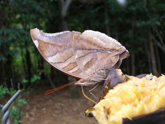 Papillons du Venezuela photos de Kia lorette Dscn4510