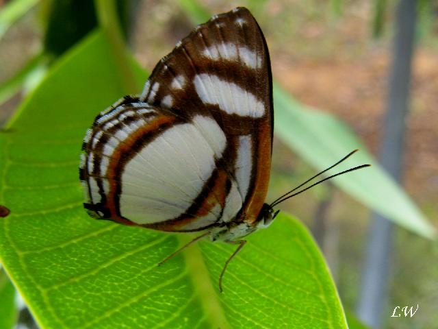 Papillons du Venezuela photos de Kia lorette Mar4cs10