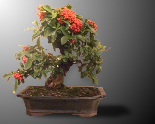 Taille sur pyracantha.... Pyrrad10