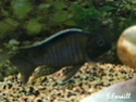 cichlidès du malawi (éric) Aulono22