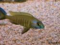 cichlidès du malawi (éric) Placid12