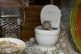 Enigme et Rat (gerbille ) Img_9311