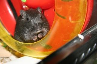 Enigme et Rat (gerbille ) Img_9312