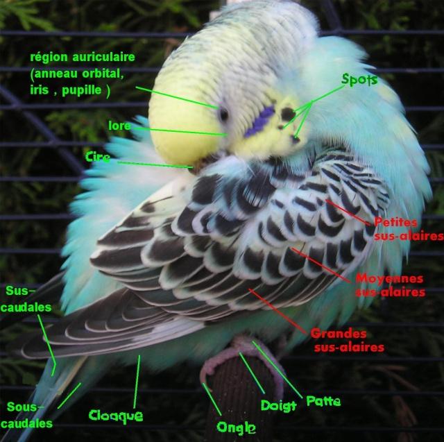 Anatomie d'une Perruche Tyy-10